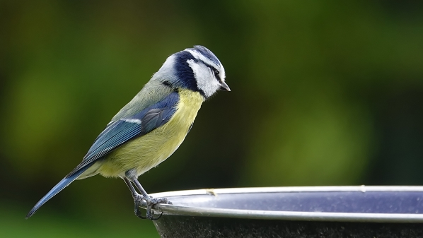 les oiseaux de chez moi 20180307_02440104