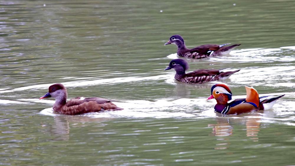 des canards en Dordogne K5_p0213