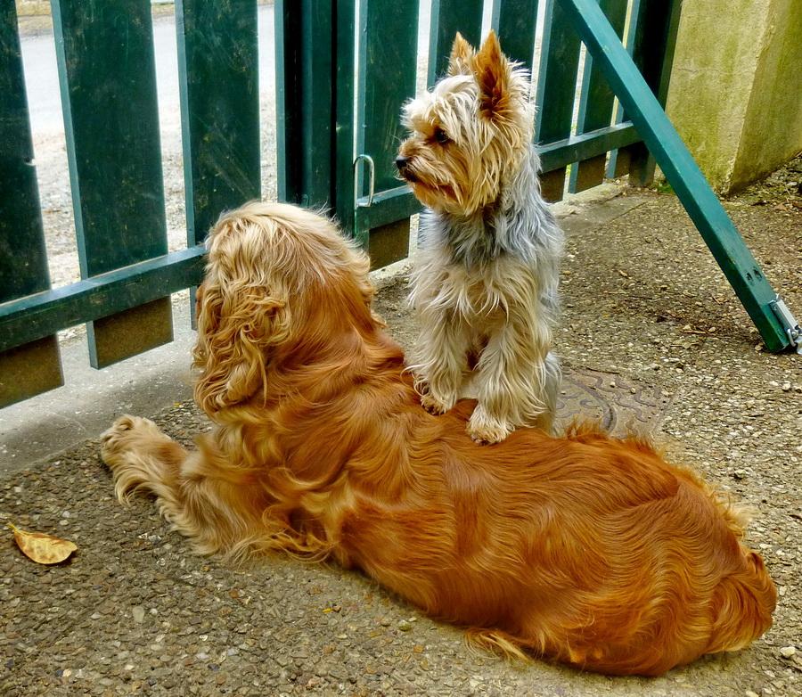 Mes chiens K5_p5