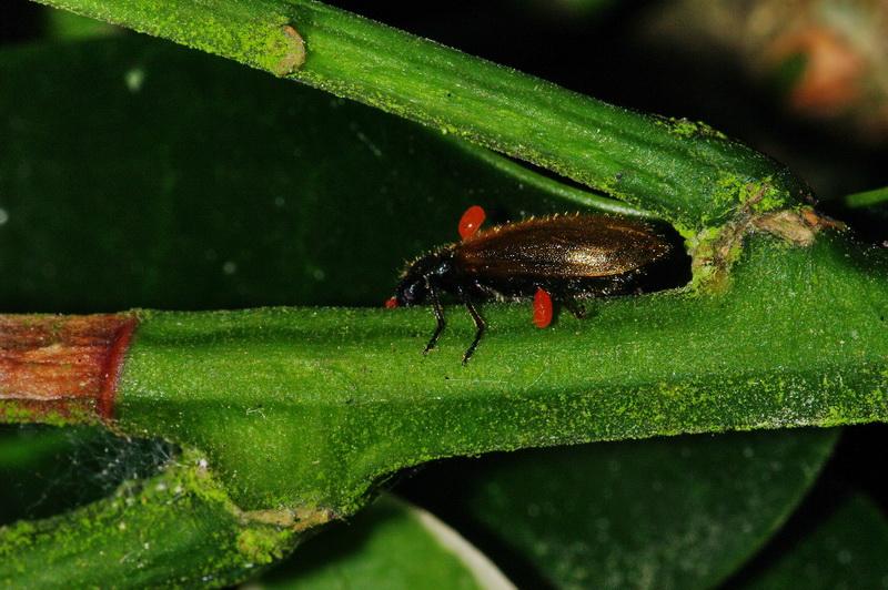 Des tiques sur les insectes Lagria-hirta