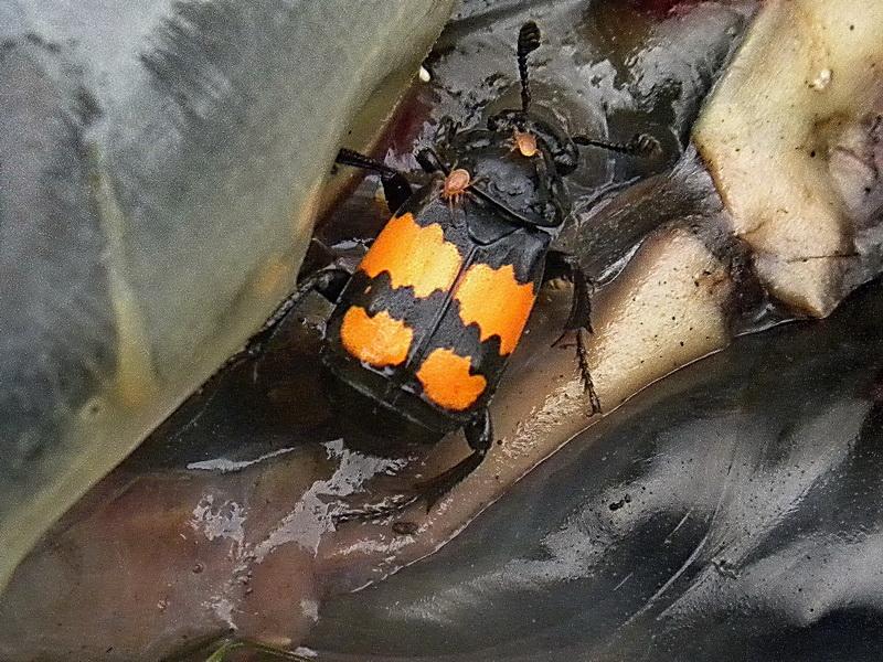 Des tiques sur les insectes Necrophore03