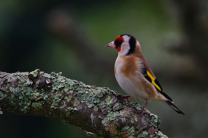 maud  et ses oiseaux Chardonneret02
